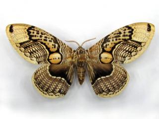 обои Светло-коричневая бабочка с разводами фото