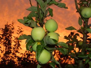 обои Яблочки вечернего сада фото