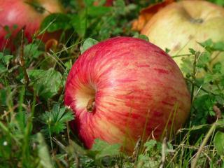 обои Яблочки сентябрьские фото