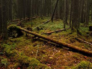обои Замшелый лес с поваленными деревьями фото