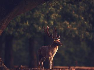 обои Лесной олень под огромным деревом фото