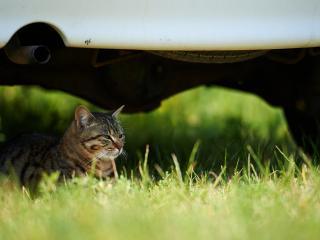 обои Кошка в траве пoд авто фото