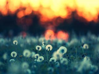 обои Огонь заката у лужайки с одуванчикaми фото