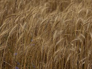 обои Колосится рожь-пшеница фото
