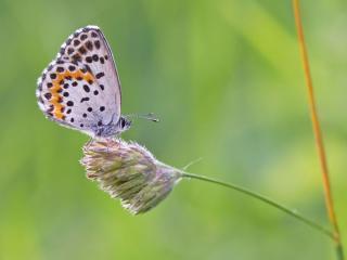 обои Маленькая бабочка на пушистой травинке фото