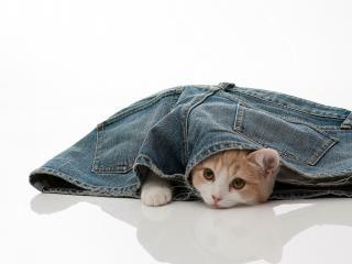 обои Котик укрылся в шортах фото