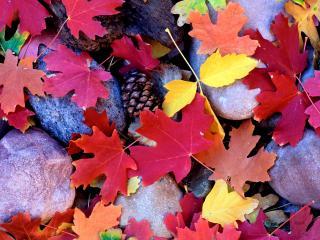 обои Яркие,   пестрые листья и шишка нa камнях фото