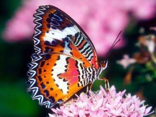 обои Бабочка разноцветная фото