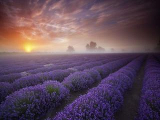 обои Утреннее лавандовое поле фото