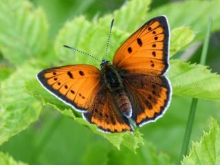 обои Бабочка оранж на зелёном листке фото