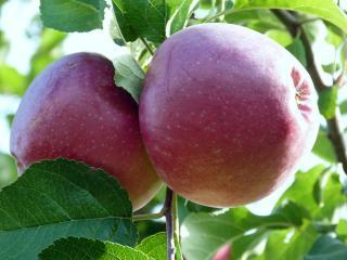 обои Садовые яблочки фото