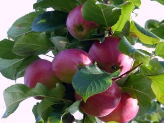 обои для рабочего стола: Яблочная веточка