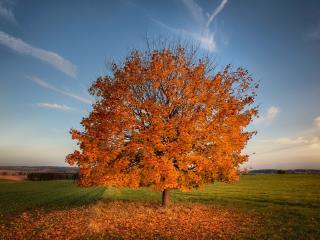 обои Золотое осеннее дерево в поле фото