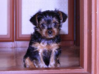 обои Симпатичный щенок у дверей фото