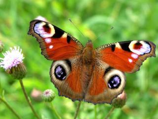обои И ещё одна бабочка Павлиний глаз фото