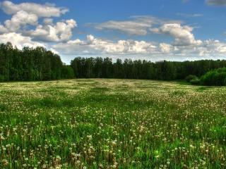 обои Одуванчиковая поляна фото