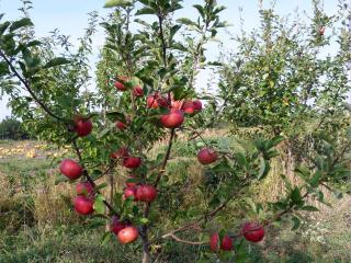 обои Яблочное деревце фото