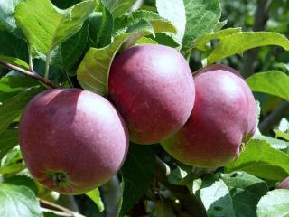 обои Три красных яблока освещены солнцем фото