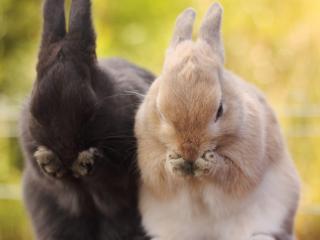 обои Парочка кроликов умывается фото