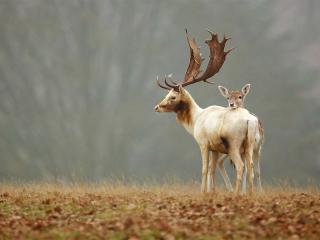 обои Олень с оленеком на лужайке фото