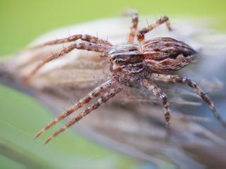 обои Паук с длинными лапами на паутине фото