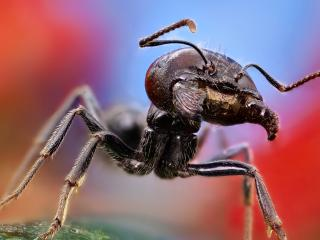обои Большой муравей фото