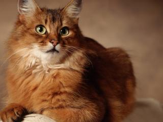 обои Оранжевый,  пушистый,  серьезный кот фото
