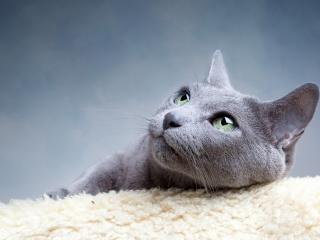 обои Серебристый короткошерстный кот фото