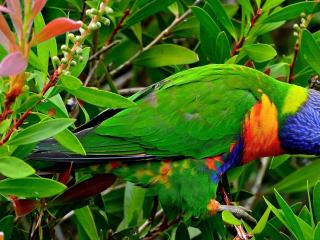 обои Салатовый попугай Ара в листве фото