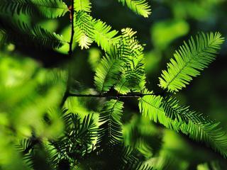 обои для рабочего стола: Узкие листья на ветви дерева