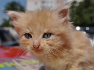 обои Котёнок цвета абрикос фото