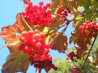 обои Красные гроздья калины фото