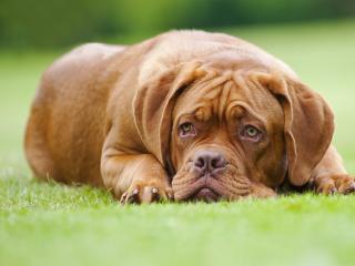 обои Безразличный взгляд на собачьей морде фото