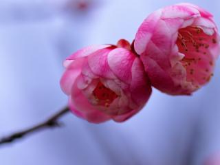 обои Два алых цветка на веточке фото
