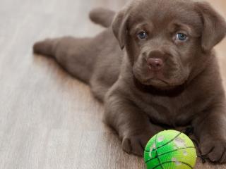 обои Маленький песик с любимым мячем фото