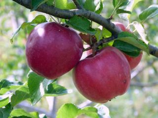обои Три красных яблока на ветке фото