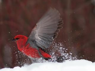 обои Птица взлетает со снега фото