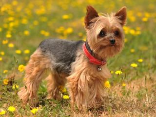 обои Красивый пес с прической фото
