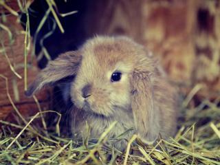 обои Вислоухий кролик фото