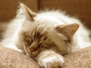 обои Пушистая кошка беззаботно спит фото