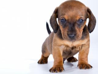 обои Маленький серьезный щенок фото