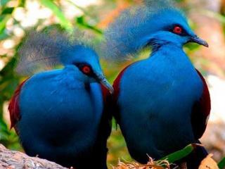 обои Две синих птички с хохолком фото