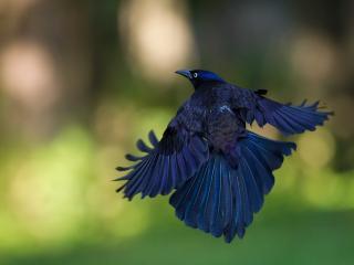 обои Ворон пархает крыльями фото