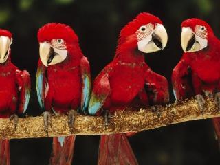 обои Красные попугаи АРА на ветви фото