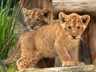 обои Маленькие львята