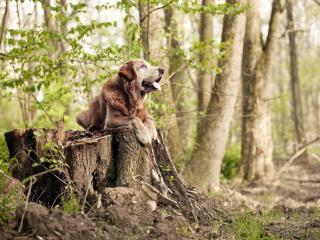 обои Охотничья собака сидит на пне фото