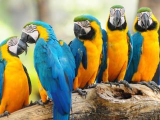 обои Попугаи АРА сидят на ветви фото