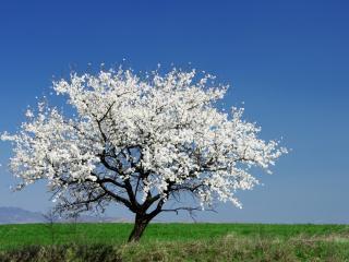 обои Весеннее дерево-невеста в поле фото