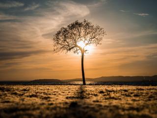 обои Весеннее деревце в поле, на закате в свечении солнца фото