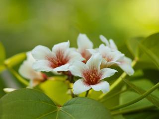 обои Весна,   ветви китайского тунгового дерева,   цветение фото